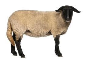 Hembra de ovejas Suffolk, Ovis Aries, 2 años de edad, de pie foto