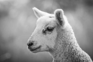 agneau de printemps