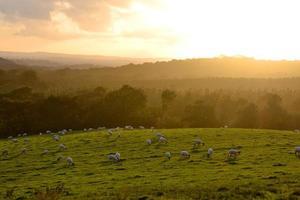 ovejas al anochecer foto