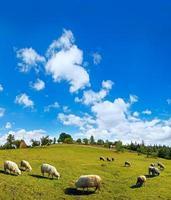 rebaño de ovejas en la cima de la colina de montaña de verano