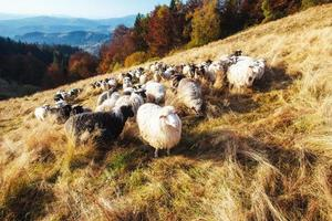 flock of sheep photo