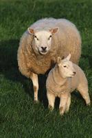 ovejas en campo foto