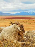 ovejas en patagonia foto