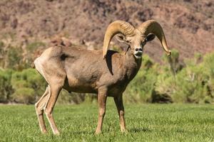 Desert Bighorn Sheep Ram in Rut