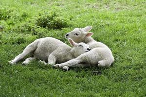 Spring Lambs Relaxing photo