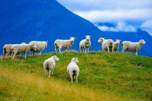 Flock of sheeps on the hill photo