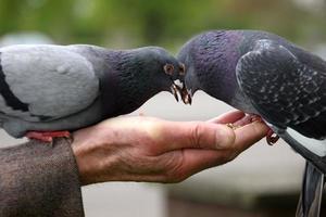 alimentar a los pájaros foto