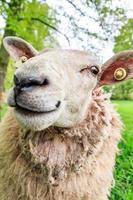 retrato de oveja foto