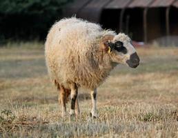 carnero en un prado foto