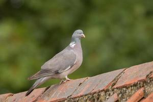 Wood Pigeon perched