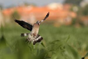 Wood pigeon landing