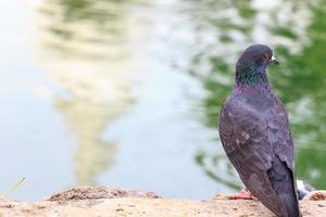 Pigeon in Thailand.