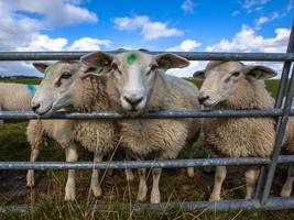 Texel sheep watching photo