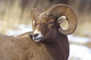 Bighorn macho grande, parque nacional de yellowstone foto