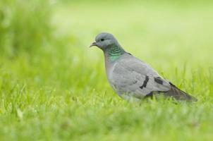 Stock Dove; (Columba oenas)