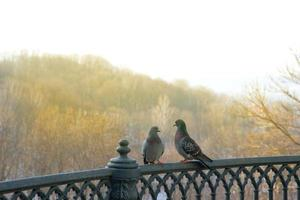 Pair of pigeons on iron fence on background of autumn