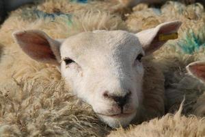 Sheep Head. photo