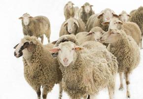 Sheep herd on white photo
