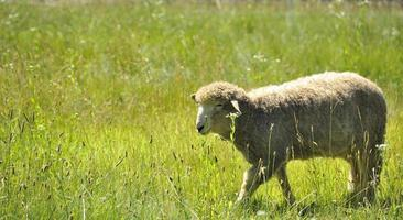 Cute little lamb in a farm photo