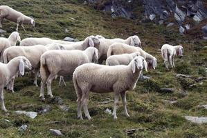 sheeps photo