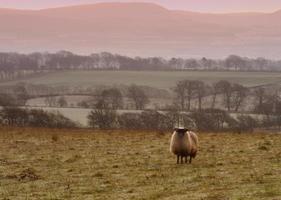 ovejas en la mañana helada.