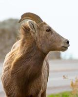Big Horn Sheep close-up