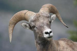 Young bighorn ram