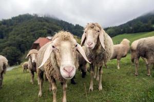 Merino sheep in the meadow photo