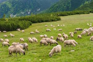 Pastos alpinos en el parque nacional de Retezat, Cárpatos, Rumania foto