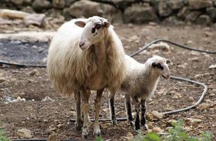 Lamb and ewe photo
