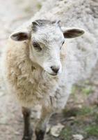 Moutons blancs moelleux bébé bouchent portrait