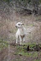 Young sheep photo