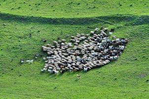 Herd of sheep gathering photo