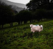 Sheep Pair. Herefordshire, UK photo