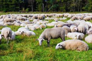 sheep on the  meadow.