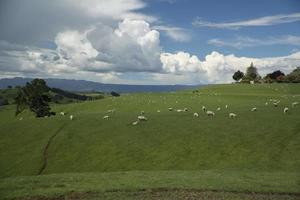 Grazing sheeps. New Zealand