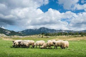 rebaño de ovejas foto