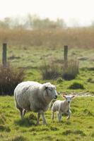 cordero y madre oveja foto