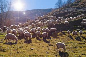 Herd of Sheep photo