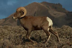 Desert bighorn sheep ram strides through stiff sage