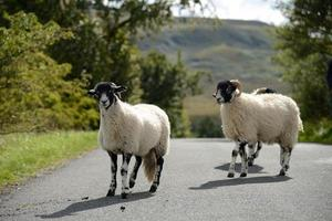 Sheep crossing the road photo