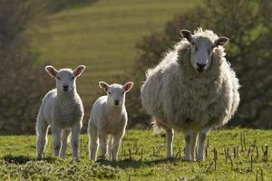 Sheep and lambs grazing photo