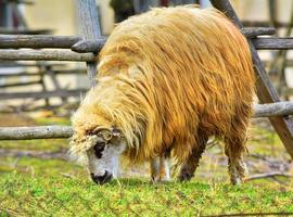 sheep eating grass photo