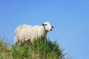 Sheep in mountain photo