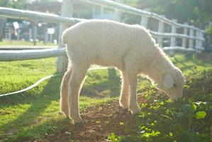 Lamb eating grass  on the field