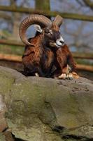 Ovis aries orientalis