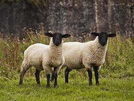 Two sheep staring