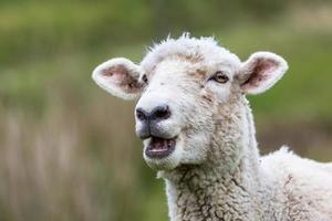 ovejas de nueva zelanda foto