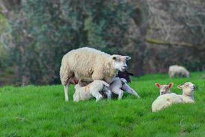 feeding the lambs photo