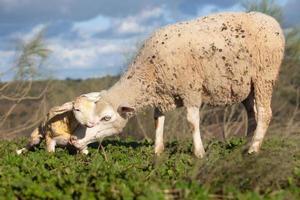 cordero lechal y sus ovejas maternas foto